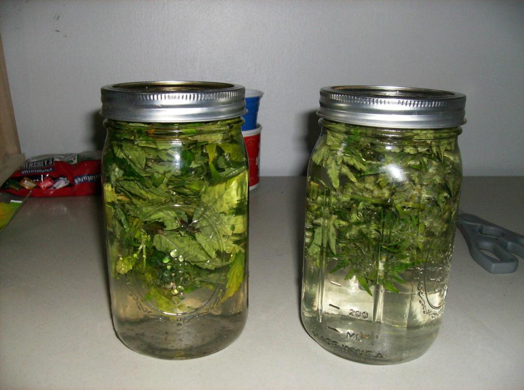 Water curing marijuana